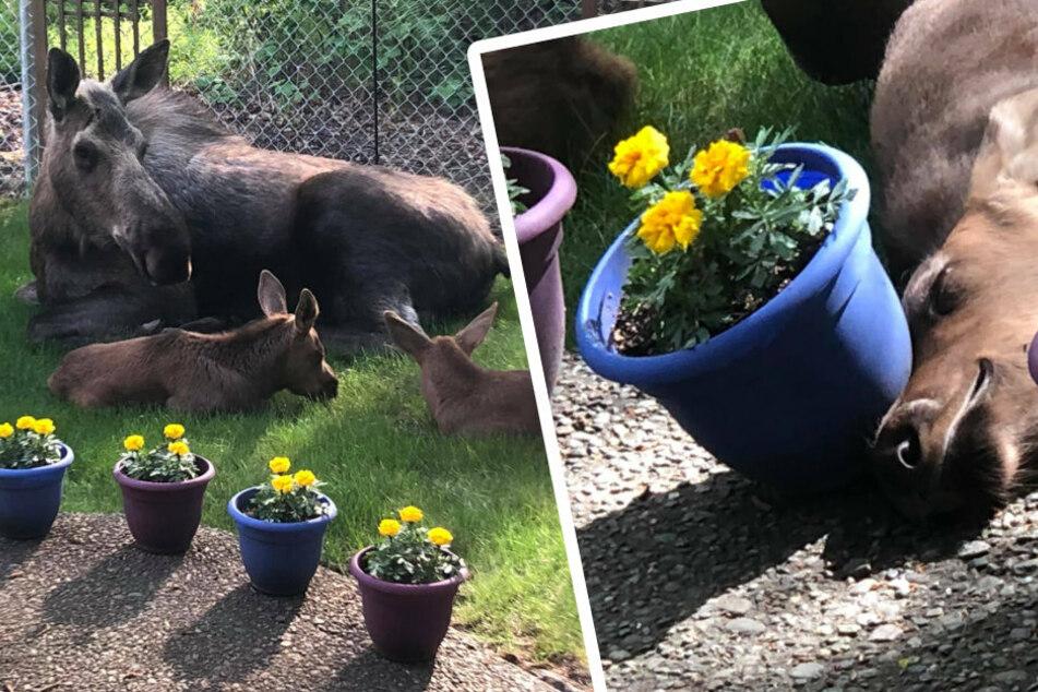 Wie niedlich! Die Elchmama faulenzt mit ihren beiden Jungen. Eines hatte sichtlich Spaß daran, den Blumentopf umzuwerfen.