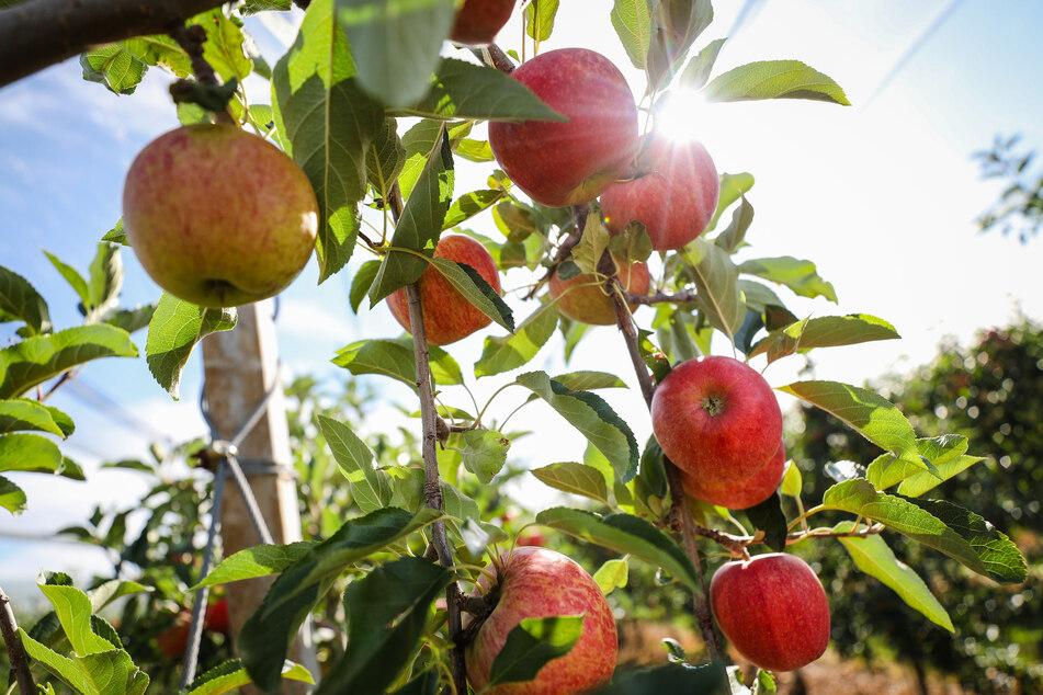 Rote Bäckchen: Die ersten Äpfel sind reif - Ernte bis Ende Oktober