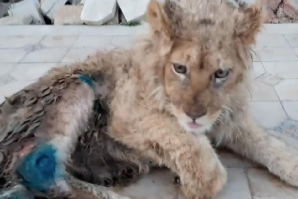 Nach der medizinischen Fürsorge geht es dem Löwen namens Simba Stück für Stück besser.