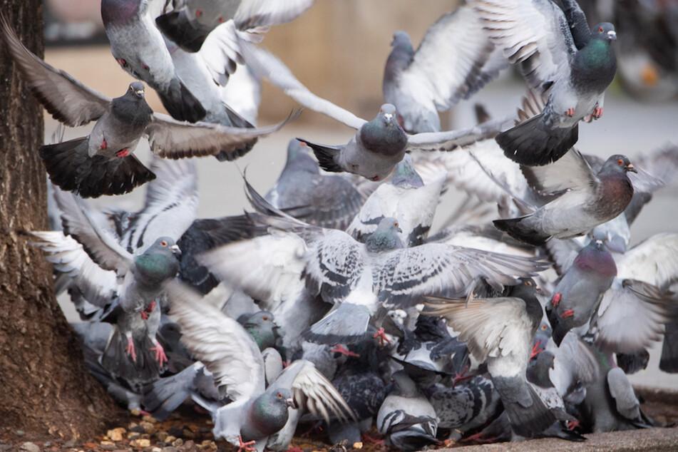 Tauben wieder füttern? Droht den Tieren wegen Corona der Hungertod?