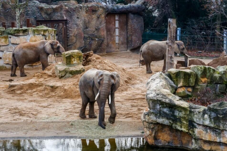Impotenter Elefant? Spermien-Test bei Tembo zeigt schockierendes Ergebnis