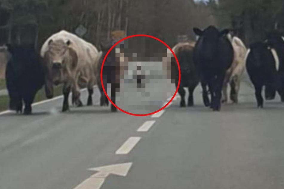 Seltener Schnappschuss! Wovor flüchten diese Rinder mitten auf der Landstraße?