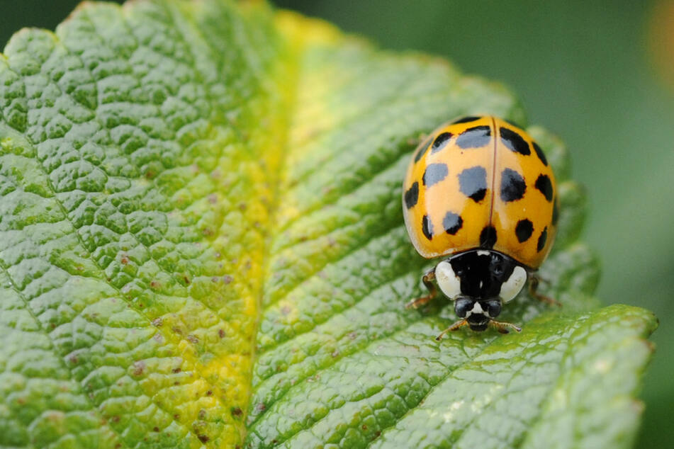 Schwarz-orange Koalition: In Bayern werden Bürger gebeten, Asiatische Marienkäfer (Foto) und einheimische Insekten zu zählen. (Archiv)