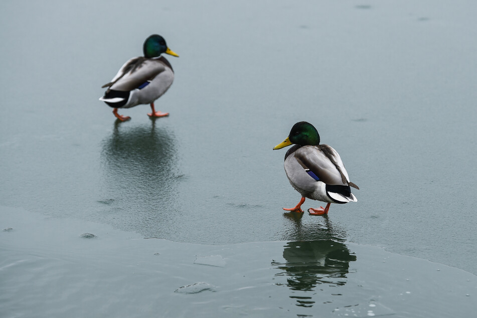 Enten watscheln über einen zugefrorenen See.