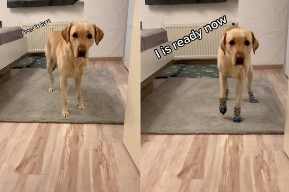 Before and after: Korey won't walk on the hardwood floor without the appropriate footwear.