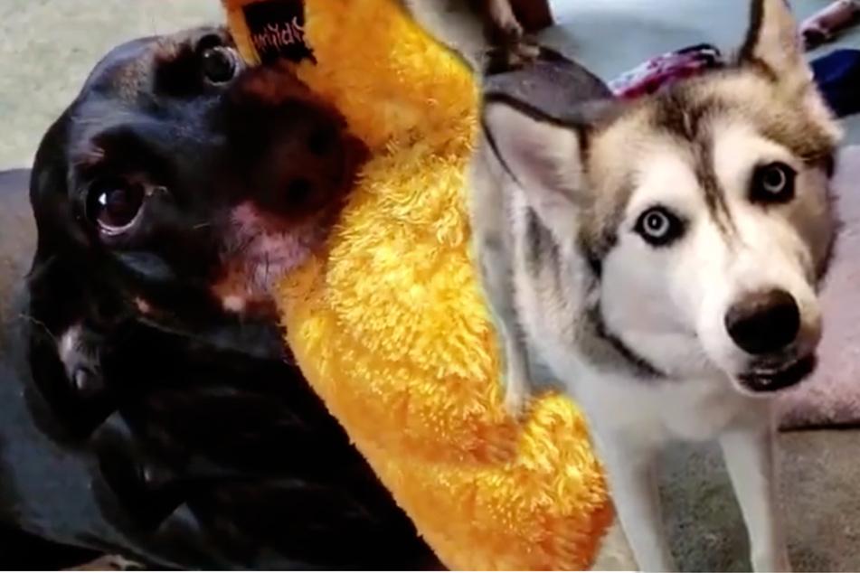 Was für eine Drama-Queen: Dieser Hund ist zutiefst beleidigt