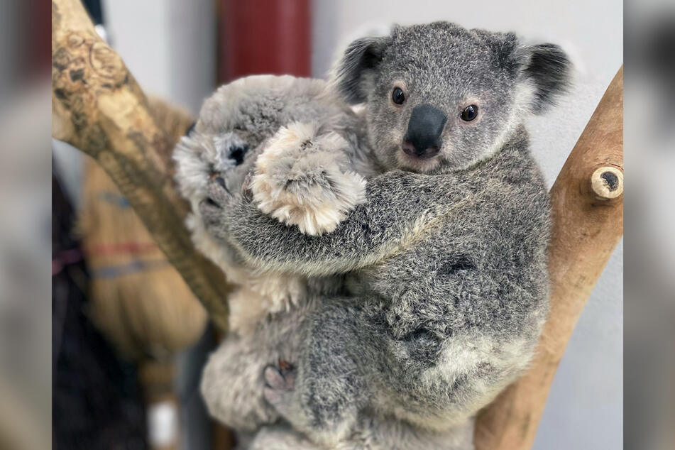 Der kleine Bouddi hat auch schon eine Leibspeise: Eukalyptuszweige.