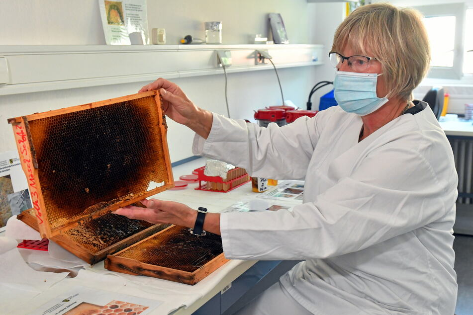 Erkennen Sie das? Bienenwaben! Angela Enge untersucht sie auf die Amerikanische Faulbrut, eine gefährliche Tierseuche.