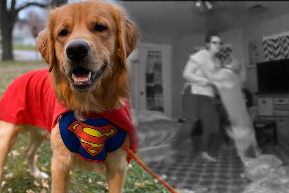 A real superdog: golden retriever Jax.
