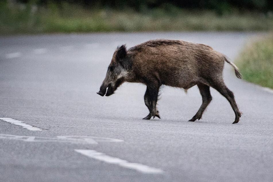 Ein Wildschwein läuft über eine Straße. Wegen der Schweinepest werden die Tiere häufiger gejagt (Symbolfoto).