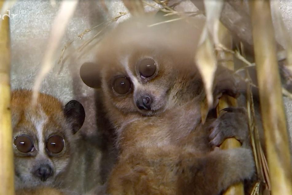 Die Plumplori-Zwillinge Cuc und Phuc erblickten im Februar das Licht der Welt. Beim Tierarzt sorgten sie erstmal für große Verwirrung.