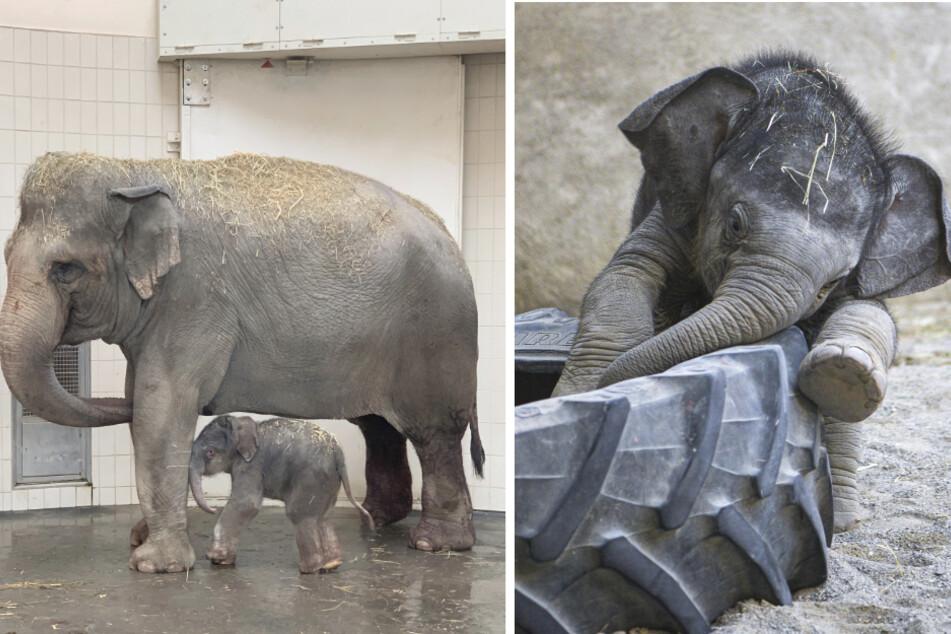 Kleiner Brummer: So prächtig gedeiht Elefantenbaby Otto in München