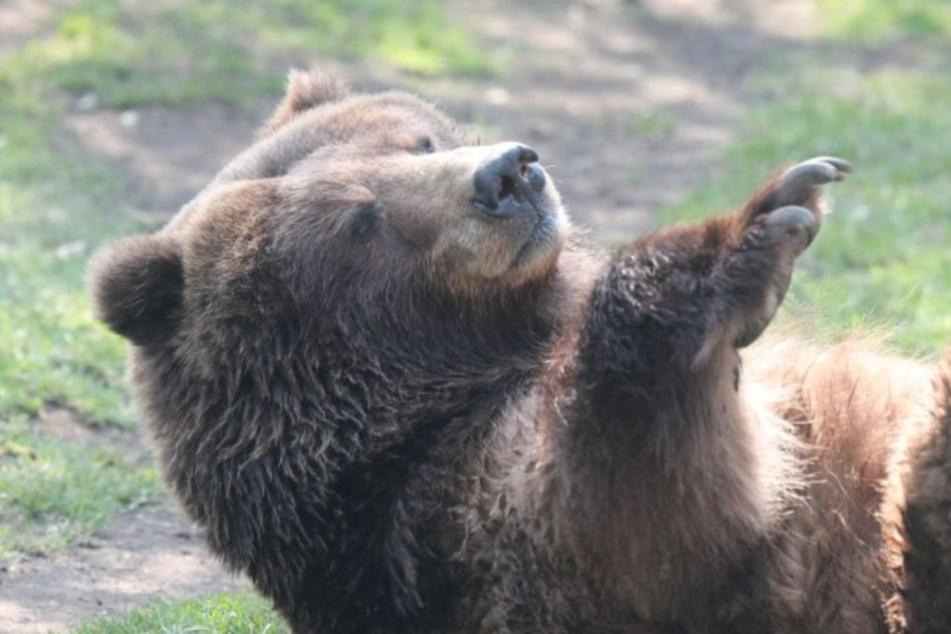Kölner Zoo trauert um Bärin Frederike: Eine lange Ära endet