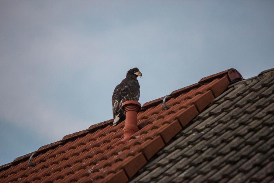Auf einem Dach in der Nähe eines Maisfeldes hatte es sich der Greifvogel zwischenzeitlich gemütlich gemacht.