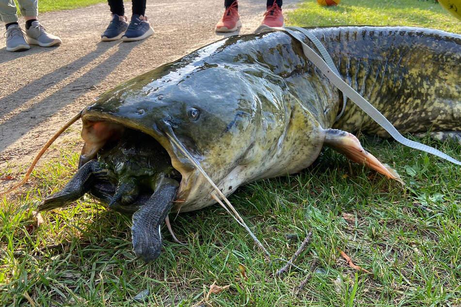 Eine Rotwangenschildkröte steckt im Maul eines riesigen, toten Wels am Ufer eines Göttinger Kiessees.