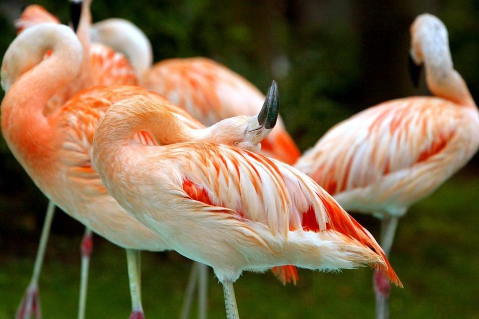 Gefährliches West-Nil-Virus: Infizierte Flamingos in deutschem Zoo gestorben