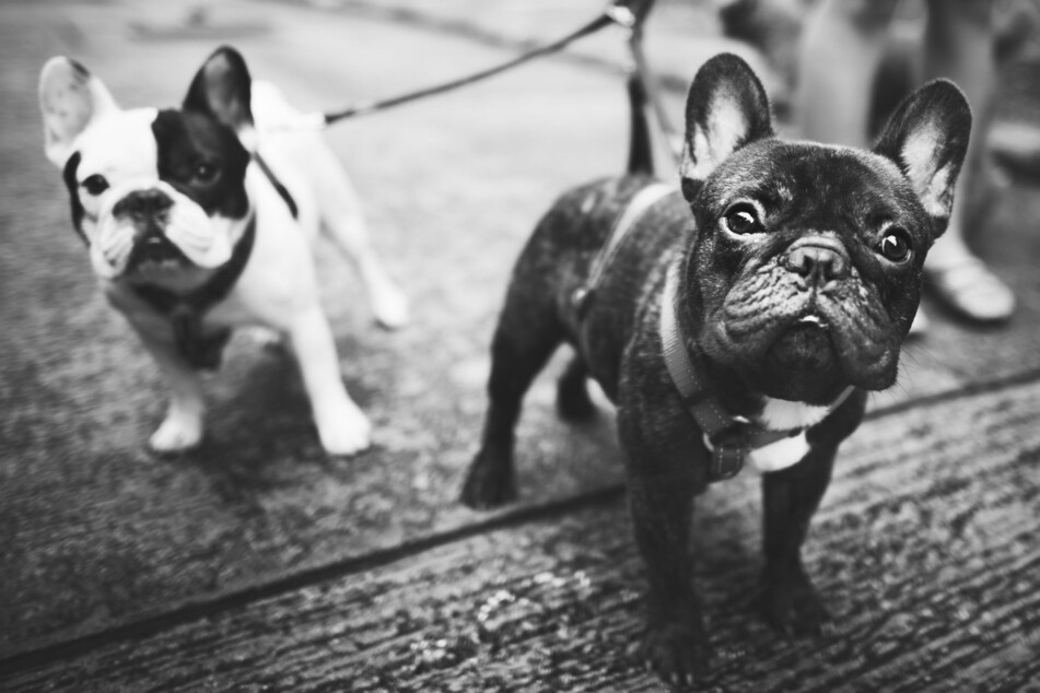 The homeowner's pet bulldogs were also stolen (stock image).
