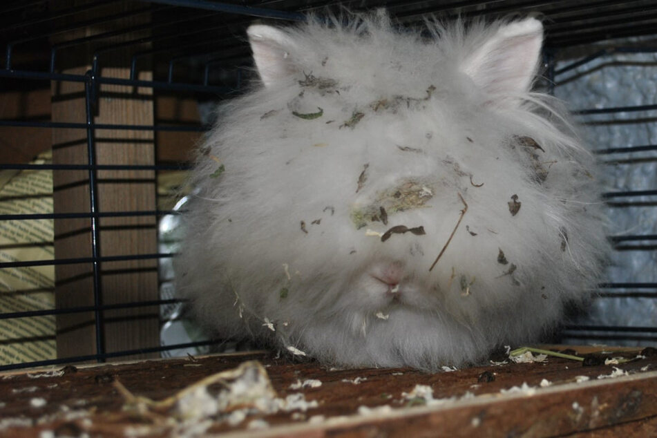 """Leipzig: """"Kleines Schneeflöckchen"""" ist ein einziges Fellknäuel: Tierheim rettet verwahrlostes Kaninchen"""