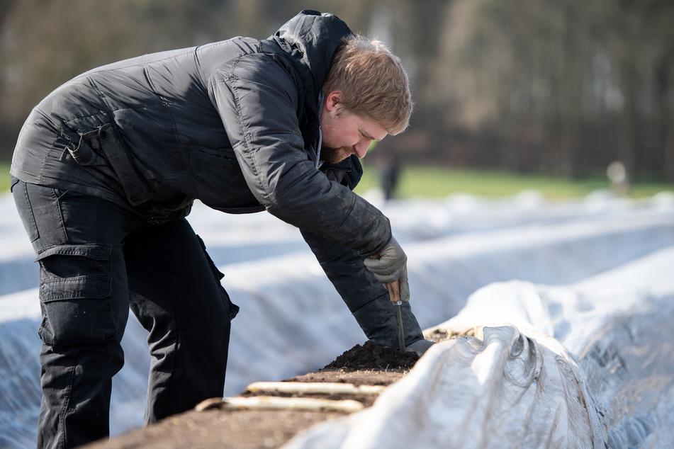 Der gelernte Koch Maik Graven sticht auf einem Feld Spargel.