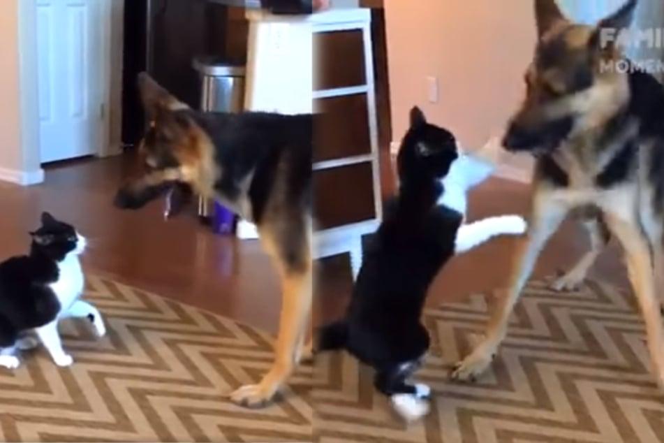 Katze attackiert Hund: Dieser reagiert unglaublich schlau