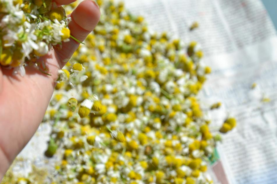 Kamille ist ein wahres Wunder der Natur.