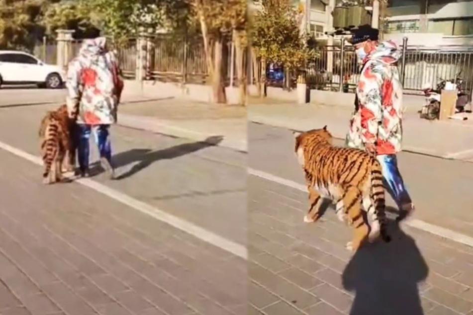 Irritation auf offener Straße: Wird hier ein Tiger ausgeführt?