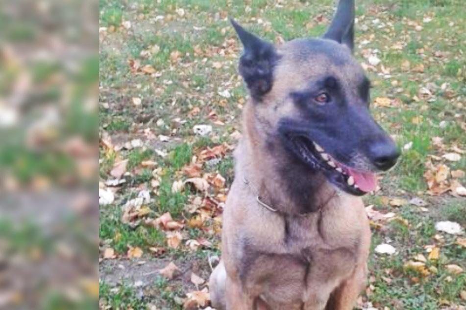 """Einbrecher flieht und entkommt der Polizei, doch mit Hund """"Elli"""" rechnet er nicht!"""