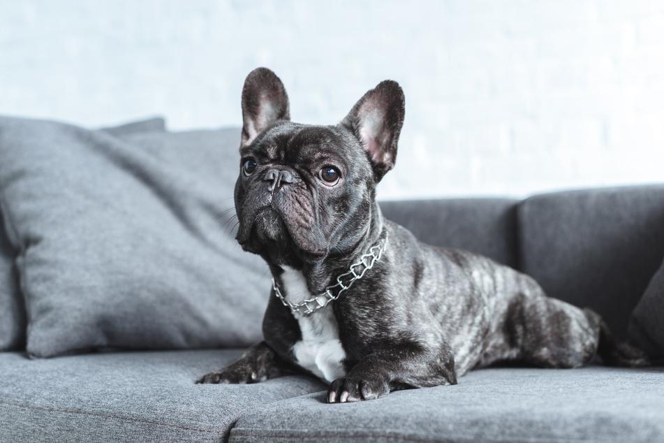 Ob sich nach erfolgreicher Abschaffung der Hundesteuer mehr Menschen einen Hund zulegen werden? (Symbolfoto)