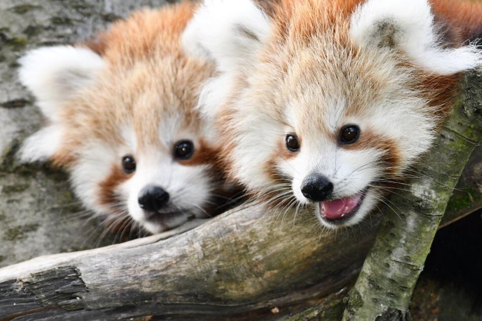 Zuckersüßer Zuwachs im Opel-Zoo: Babys der Roten Pandas zeigen sich der Öffentlichkeit