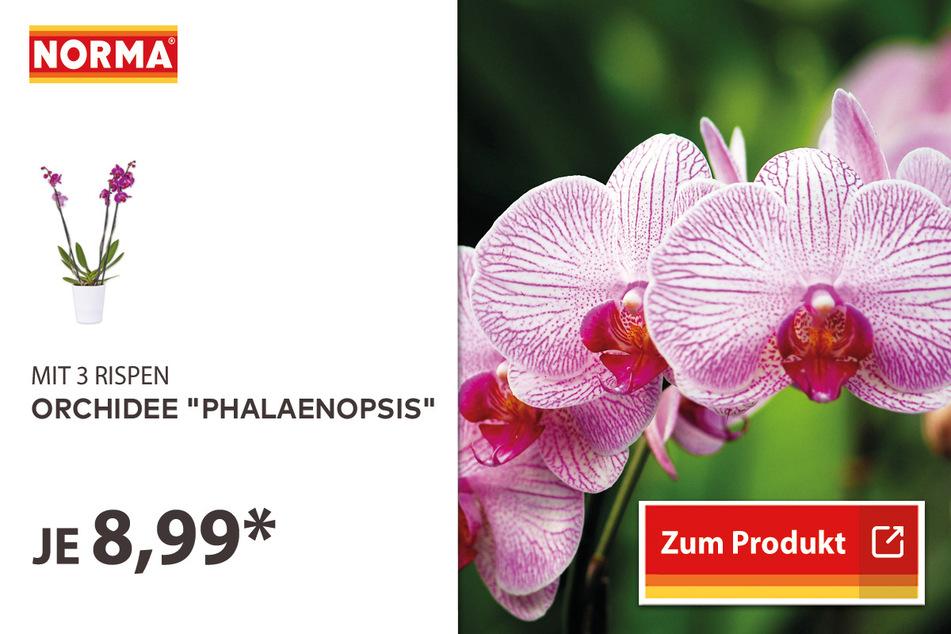 """Orchidee """"Phalaenopsis"""" für 8,99 Euro"""