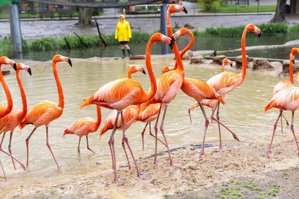 Lange bangte der Tierpark um die Roten Flamingos.