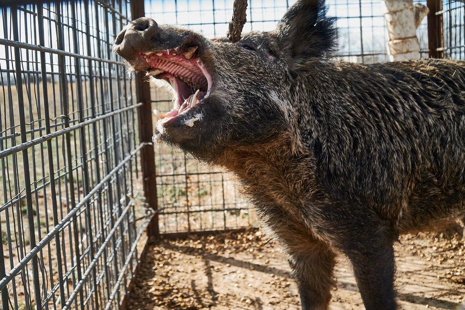 Ein unter Drogen stehender 46-Jähriger fühlte sich von Wildschweinen bedroht, die vermutlich gar nicht da waren. (Symbolbild)