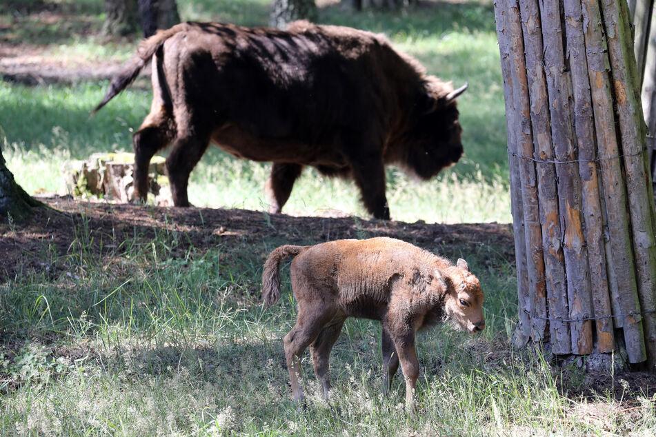 Viele Zoos leisten auch einen wichtigen Beitrag zum Artenschutz. Laut WWF-Artenschutz-Fachbereichsleiter Arnulf Köhnke wären Wisente heute ausgestorben, hätten sie nicht in Tiergärten überlebt.