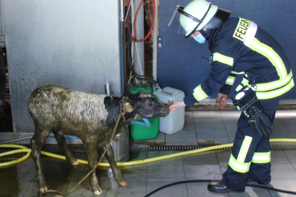 Ein Feuerwehrmann kümmert sich um das Kalb.