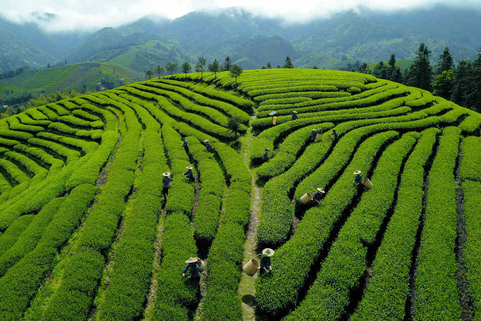 Die Luftaufnahme zeigt Tee-Pflücker bei der Arbeit auf einer Plantage in Asien (Symbolbild). Melissa verkauft Tee aus Asien in England.