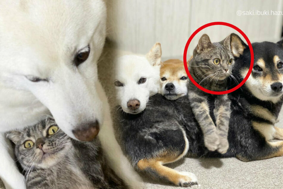 Getting along like cats and dogs: this Japanese kitty is part of the pack