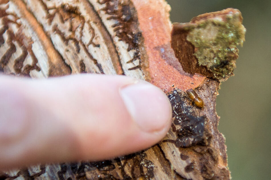 Allein zur Käferbekämpfung wurden 10,4 Millionen Euro ausgegeben. (Archiv)
