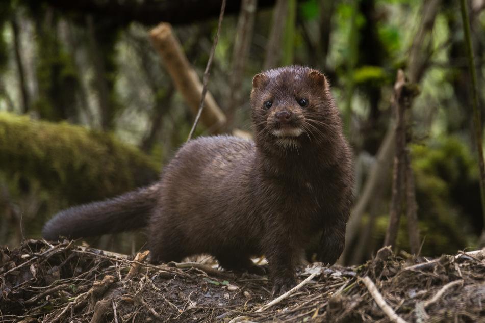 Nerze zählen zu den bedrohtesten Säugetierarten Europas.