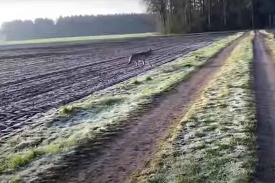 Mehrere Minuten filmte die Frau den Wolf, der neben ihr herlief.