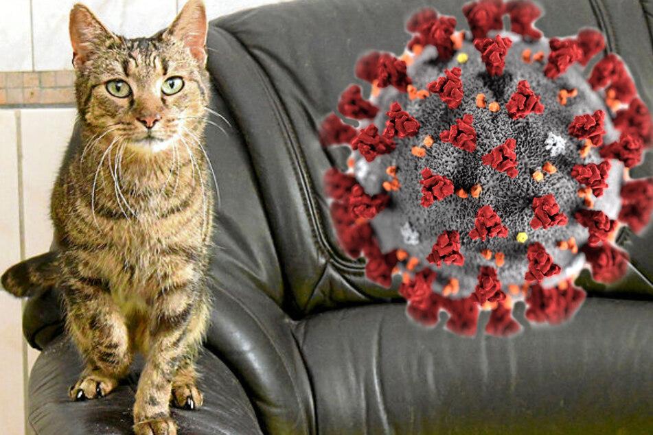 Leipziger Tierhygiene-Professor warnt: Auch Katzen können Corona bekommen!