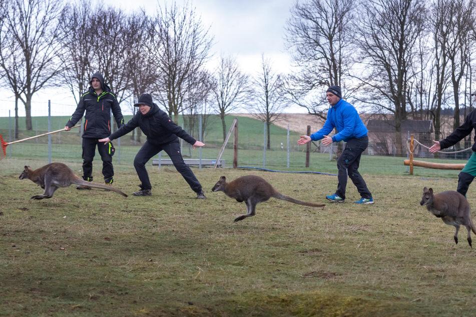 Die Kängurus werden in Oederan eingefangen.