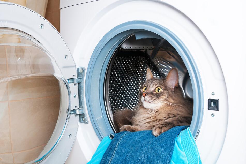 Eine Katze schaut aus einer Waschmaschine, in der bereits Kleidung zum Reinigen liegt (Symbolbild).