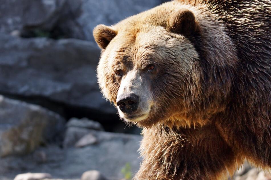 Die Braunbären im Südwesten Alaskas sind bedroht.