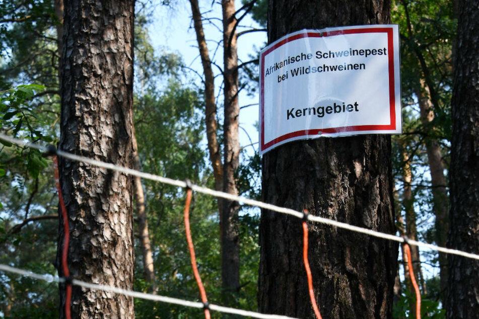 Am Dienstag berät das Brandenburger Kabinett über die weiteren Schritte im Kampf gegen eine Ausbreitung der Afrikanischen Schweinepest. (Symbolfoto)