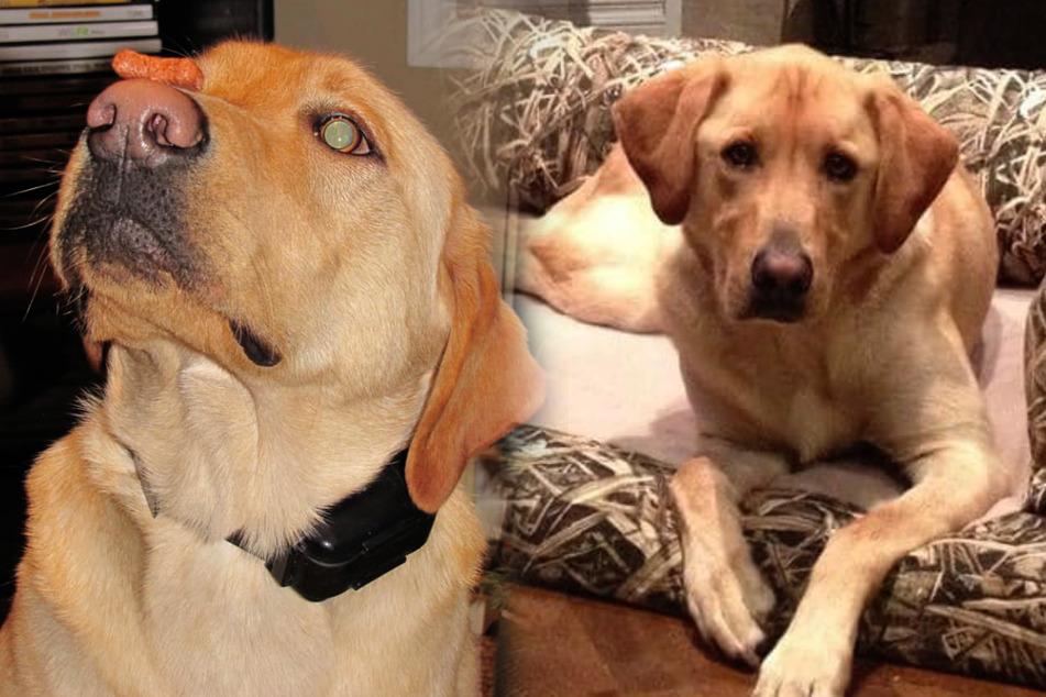 """Hund """"Hiccup"""" starb an einem Leberversagen, da er eine ganze Tüte Kaugummis verputzte."""