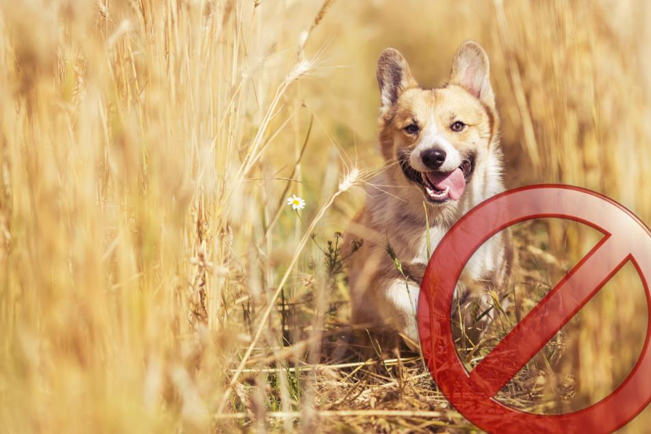 3 Gründe, warum dein Hund nicht durch hohes Gras laufen sollte