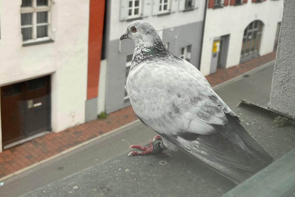 Das Foto zeigt die verirrte Brieftaube auf dem Fenstersims der Polizeiinspektion in Donauwörth.