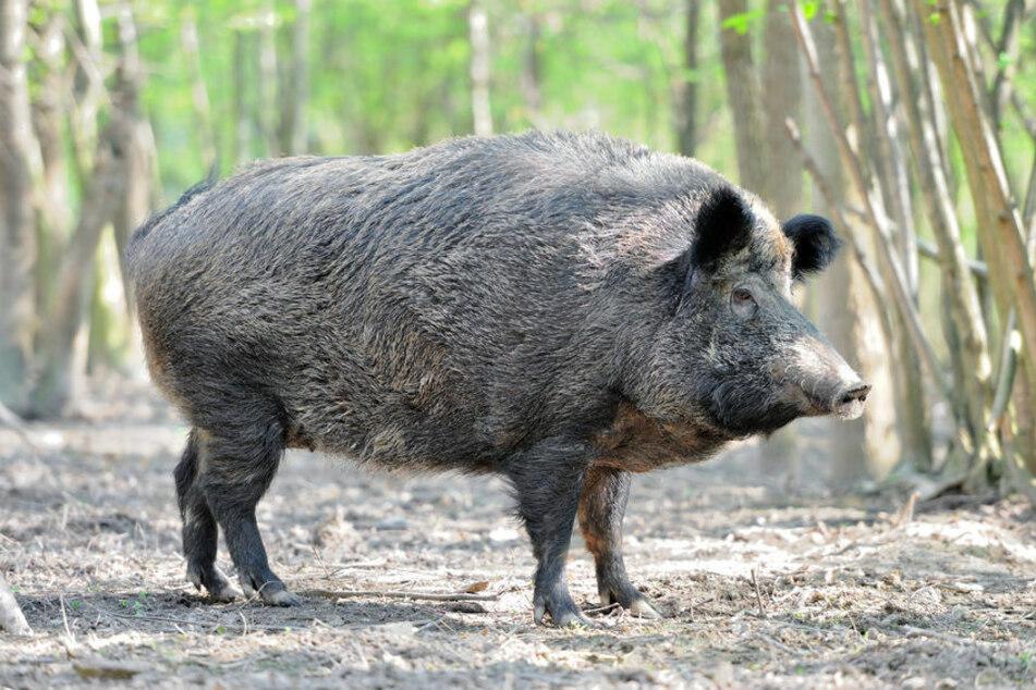Subaru kracht in Wildschwein, schleudert es auf Gegenfahrbahn und verursacht weiteren Unfall