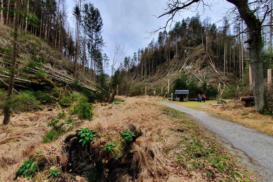 Das Ausmaß der Naturkatastrophe wird jedem bei einer Wanderung durch das Elbsandsteingebirge schmerzlich bewusst.