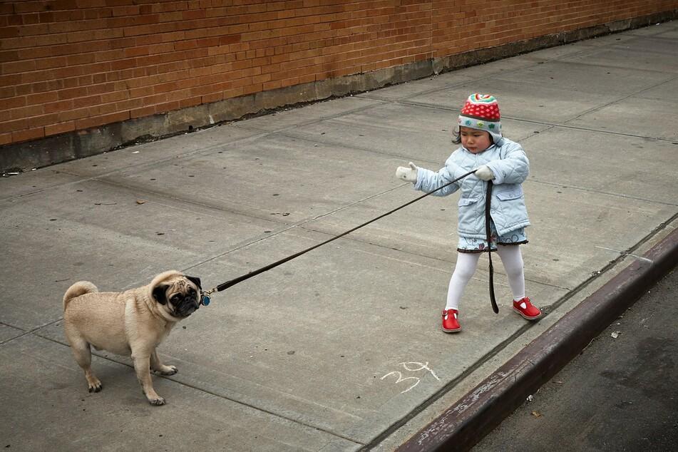 Dieser Hund hat definitiv keine Lust, spazieren zu gehen.